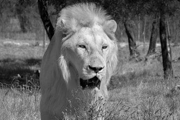 Hongerige witte leeuw gefocused op zijn prooi van Laurens Coolsen