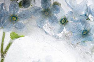 Blauwe zijdebloem in ijs 2 van Marc Heiligenstein