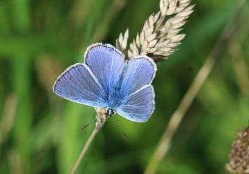 icarusblauwtje vlinder (Polyommatus icarus)  von michael meijer