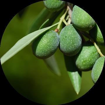 Olijven aan de boom van Ulrike Leone