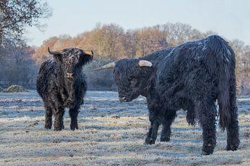 Twee zwarte schotse hooglanders in bevroren winterse wei van Ben Schonewille