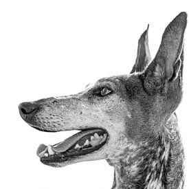 Portret van het hondenras Podenco Canario in zwart-wit van Harrie Muis