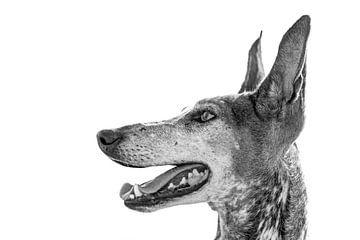 Porträt der Hunderasse Podenco Canario in schwarz-weiß von Harrie Muis