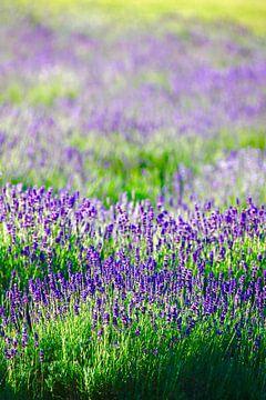 Lavendel von Thomas Jäger