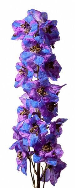 Long Purple