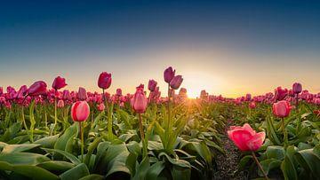 Tulpenvelden van Martijn Kort