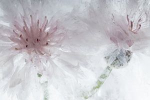 Weiße Kornblumen in Eis 3 von Marc Heiligenstein