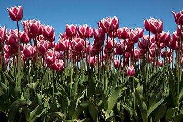 Rode tulpen voor achtergrond afbeelding. van Maurice de vries