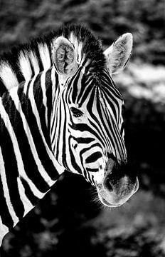 Zebra von Jan van Reij