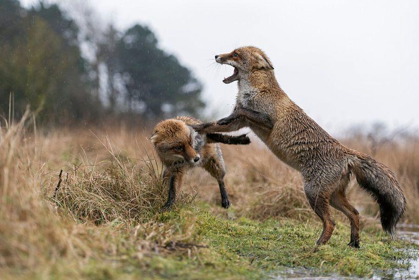 Füchse, Rotfüchse ( Vulpes vulpes ) in heftigem Streit, attackieren einander, wildlife, Europa. von wunderbare Erde