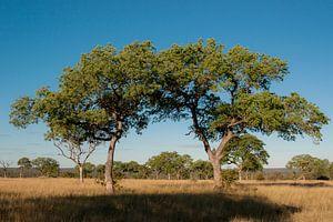 Bomen - Zuid-Afrika