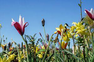 Tulpen langs de weg. Voorjaar, lente in Ridderkerk