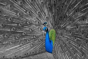 Peacock in courtship van Ursula Di Chito