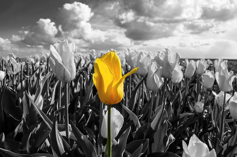 De alleenstaande Tulp van Brian Morgan