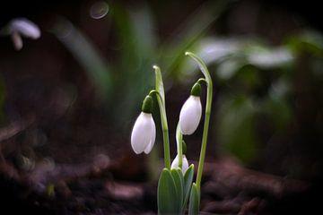 Lentebloemen /  Sneeuwklokje van Marianna Pobedimova