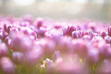 De prachtige tulpen in de bollenvelden van Dennis Janssen