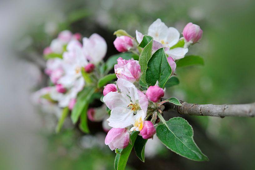 Fleurs de pommier van Martine Affre Eisenlohr