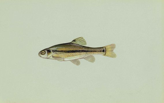 Amerikaanse dikkop-elrits (Fathead minnow fish)