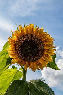 Solist der Sonnenblume. von Anjo ten Kate