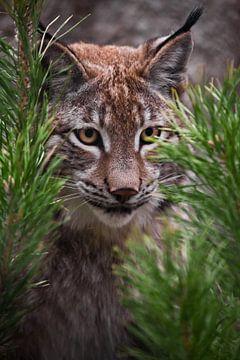 Gros plan sur le lynx muselé sur Michael Semenov