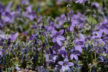 Violette Blumen von Simen Crombez