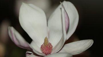 Magnolie in Boje von Bärbel Severens