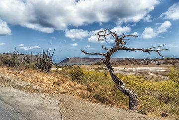 Schrulliger Baum St. Willibrord Curaçao von Marly De Kok