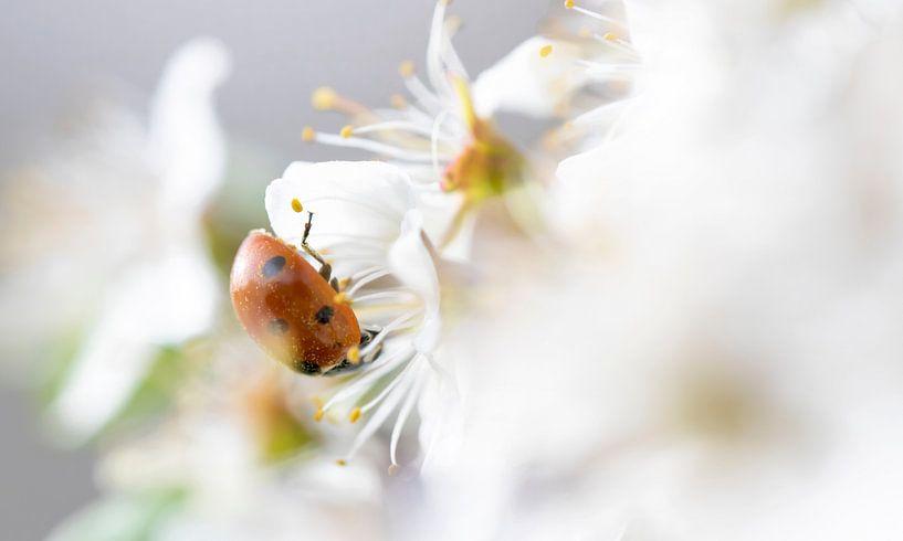 Lieveheersbeestje in sleedoornbloesem van Henk Groenewoud