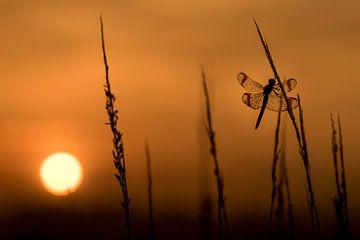 Bandheidelibel au lever du soleil sur Erik Veldkamp