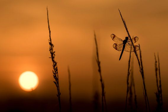 Bandheidelibel bij zonsopkomst van Erik Veldkamp