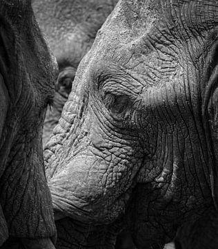 éléphants sur Ed Dorrestein