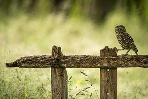 Steenuil op een oud hek van