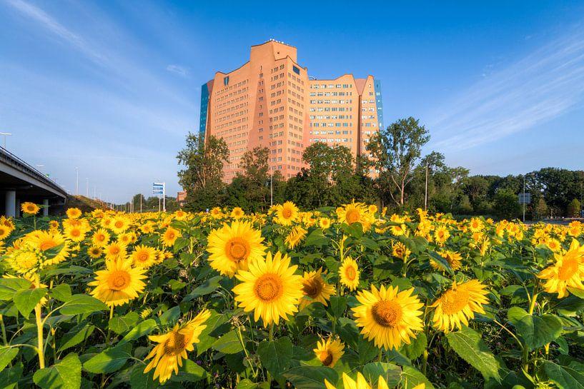 Zonnebloemen in Groningen van Frenk Volt