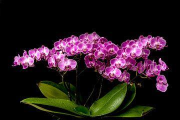 Orchidee in volle bloei. van Tony Buijse