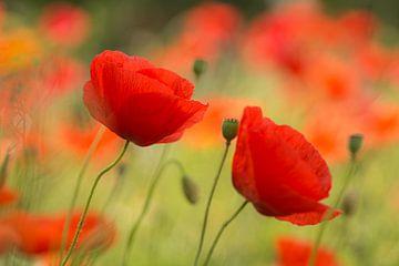Poppies Zeit von Birgitte Bergman