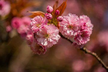 fleur rose sur une branche d'un arbre à fleurs à Oegstgeest sur Margriet Hulsker