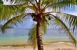 Blick durch eine Palme am Strand der Seychellen