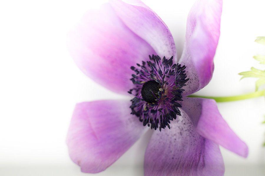 Enkelvoudige paarse Bloem