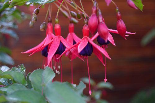 Fuchsia van