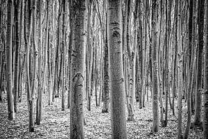 Berkenbomen in zwart/wit van Pierre Verhoeven