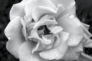 Rose unter den Regentropfen in Schwarz und Weiß von W J Kok