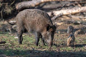 Wildschwein mit Jungen von Merijn Loch