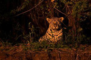 Jaguar in het avondlicht