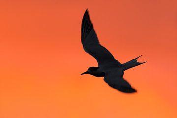 Common Tern (Sterna hirundo) von AGAMI Photo Agency