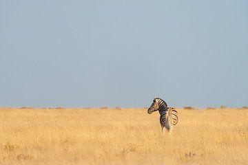 Eenzame zebra op de savanne in Namibië van Adri Klaassen