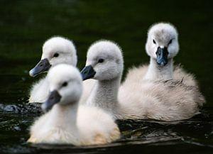 Vier zwemmende jonge zwanen van