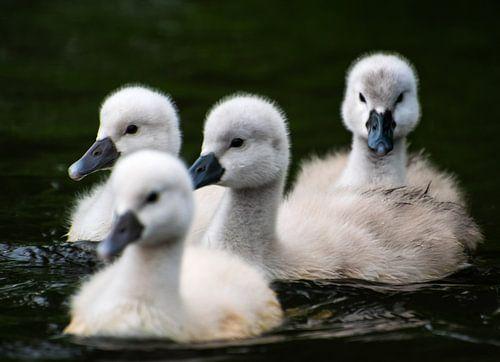 Vier zwemmende jonge zwanen