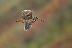 Eurasian Woodcock in flight. von