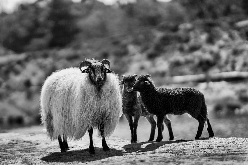Schafe und Lämmer in Schwarz und Weiß von Steven Dijkshoorn