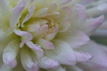 Chrysanthemen von Riegler klaus